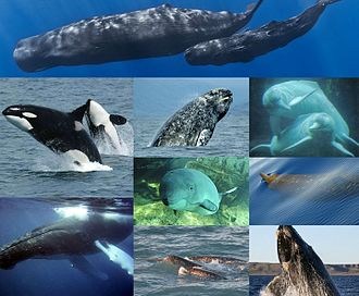 Cetacea - Clockwise from top: sperm whale (Physeter macrocephalus), Amazon river dolphin (Inia geoffrensis), Blainville's beaked whale (Mesoplodon densirostris), southern right whale (Eubalaena australis), narwhal (Monodon monoceros), humpback whale (Megaptera novaeangliae), killer whale (Orcinus orca), gray whale (Eschrichtius robustus) and harbor porpoise (Phocoena phocoena).