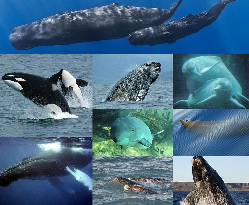 The Cetacea