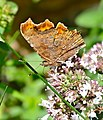 The Comma (Polygonia c-album) - Flickr - berniedup.jpg