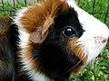 The Guinea pig.jpg