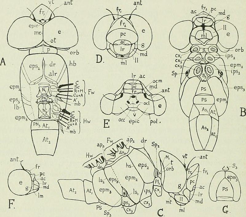 External morphology of Odonata - Wikipedia