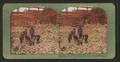 The never-ending search for the missing in the earthquake and fire devastated ruins of San Francisco, from Robert N. Dennis collection of stereoscopic views.png