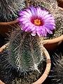 Thelocactus bicolor (Echinocactus) (3425116340).jpg