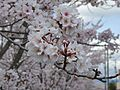 Thousand Sakura tree of Kabake river , 鹿化川 千本桜 - panoramio (2).jpg