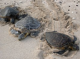 Three Kona sea turtles.jpg