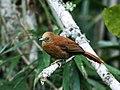 Thripophaga berlepschi - Russet-mantled Softtail (cropped).jpg