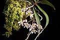 Thrixspermum saruwatarii (Hayata) Schltr., Repert. Spec. Nov. Regni Veg. Beih. 4 275 (1919) (32776459438).jpg
