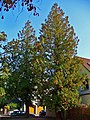Thuja occidentalis 001.JPG