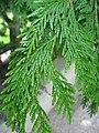 Thuja plicata leaves 01 by Line1.jpg