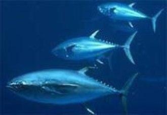 Wildlife of Mauritania - Bluefin tuna