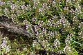 Thym des Cévennes - Thymus nitens-2947 - Flickr - Ragnhild & Neil Crawford.jpg