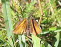 Thymelicus lineola-01 (xndr).jpg