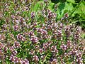 Thymus pulegioides chamaedrys-Salzburg, Flachgau, Eugendorf-bE-HdN-1110a.jpg