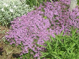 Thymus serpyllum flowering plants.jpg