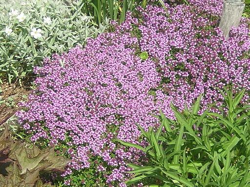 Thymus serpyllum flowering plants
