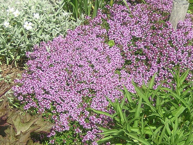 File:Thymus serpyllum flowering plants.jpg