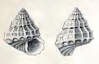<i>Tibatrochus incertus</i> species of mollusc