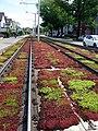 Tiefliegendes Rasengleis mit Bodendeckern der Basler Verkehrs-Betriebe in Riehen.jpg