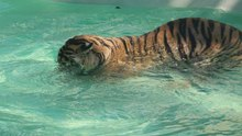 File:Tiger playing with a piece of wood in a pool.webm