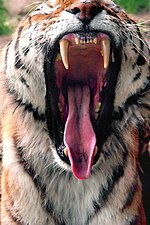 Tigers' extremely strong jaws and sharp teeth make them superb predators.
