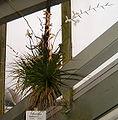 Tillandsia dodsonii BotGardBln271207B.jpg