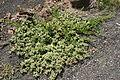 Tinajo El Cuchillo - Lugar de Cuchillo (Caldera) - Mesembryanthemum crystallinum+Patellifolia patellaris 01 ies.jpg