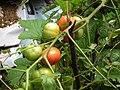 Tomato plant from Kerala 4989.JPG