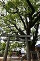Torii and camphor tree of Oimatsu Shrine.jpg