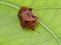 Tortoise beetle (Genus Laccoptera) from W-Java (6652718793).jpg