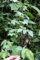 Tourrettia lappacea (Bignoniaceae) (32270831381).jpg