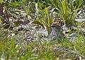 Tree Sparrow (8687655726).jpg