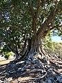 Trees on top of Cunninghams Knoll, Ipswich, Queensland.jpg