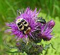 Trichius fasciatus. Scarabaeidae (15656729604).jpg