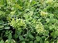 Trifolium repens (subsp. repens) sl14.jpg