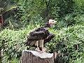 Trigonoceps occipitalis -Jurong Bird Park, Singapore-8a.jpg