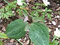 Trillium ludovicianum - Flickr - peganum (1).jpg