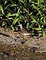Tringa glareola 2 - Christopher Watson.jpg
