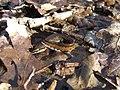 Triturus helveticus - Triton palmé mâle nuptial 1.jpg