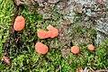 Tubifera ferruginosa - Fischeierschleimpilz - Lachsfarbener Schleimpilz - 02.jpg
