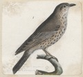 Turdus viscivorus - 1700-1880 - Print - Iconographia Zoologica - Special Collections University of Amsterdam - UBA01 IZA1000772.tif