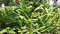 Turmeric plants.jpg
