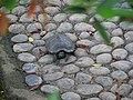 Turtle in the tsing yi park.jpg