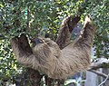 Two toed Sloth 6 (4871961869).jpg
