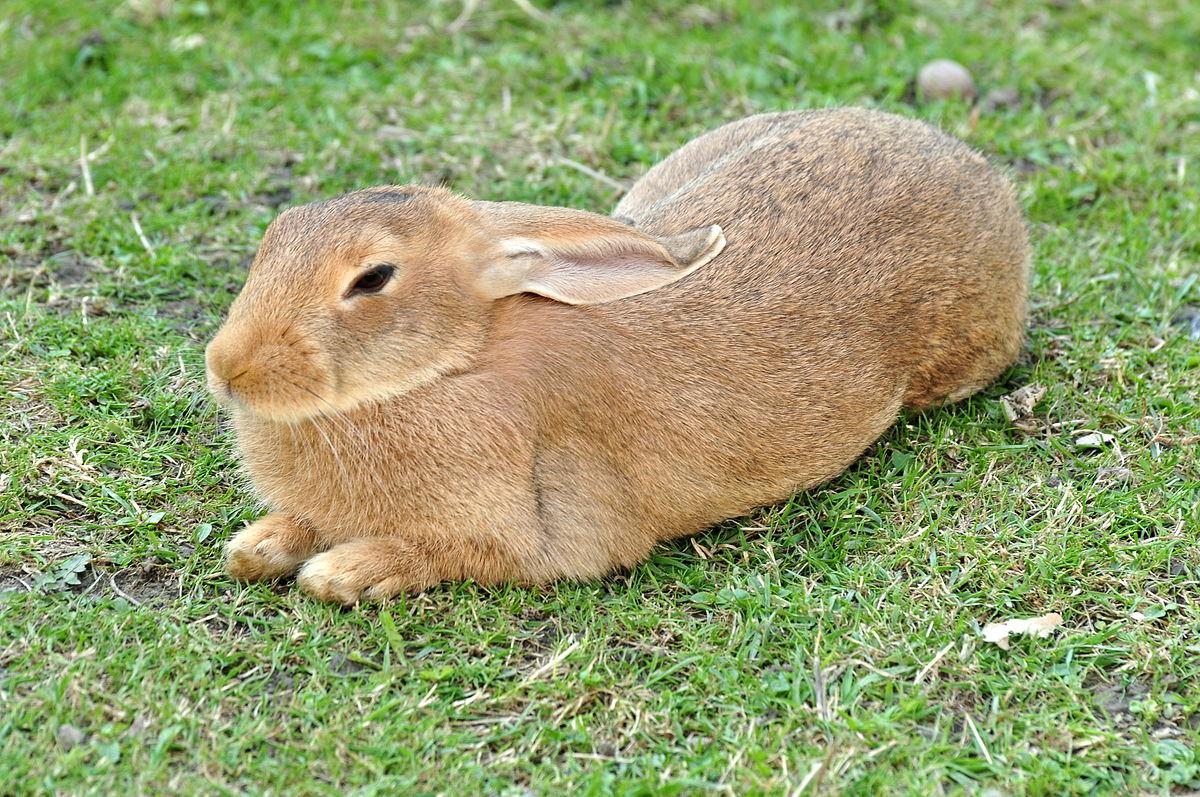 Domestic rabbit - Wikipedia
