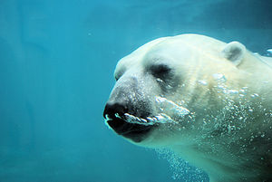 Ursus maritimus English: A polar bear swimming...
