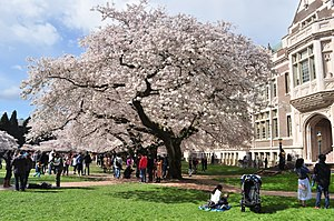University of Washington Quad cherry blossoms 2017 - 09.jpg