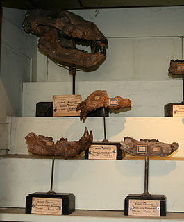 <i>Ursus etruscus</i> species of bear