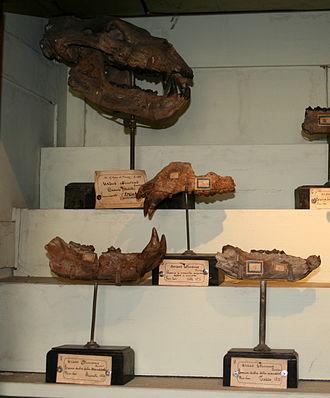 Ursus etruscus - Fossils