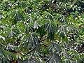 Urticaceae Tree (Musanga cecropioides) (7838456802).jpg