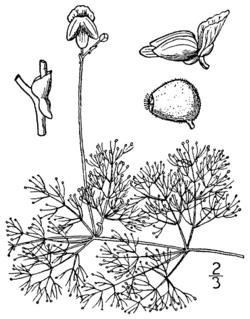 Utricularia purpurea BB-1913.png